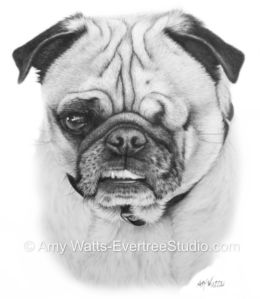 realistic-pet-drawings-from-photos-dog-pug-hamilton