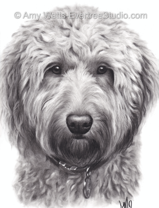 realistic-pet-drawings-from-photos-labradoodle