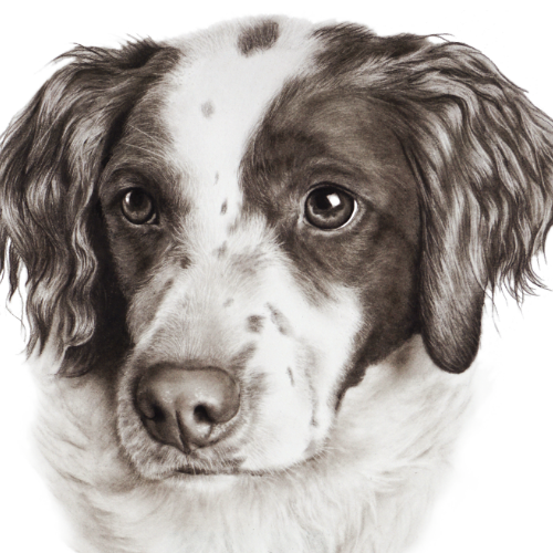 realistic-drawings-from-your-photo-pet-dog-spaniel