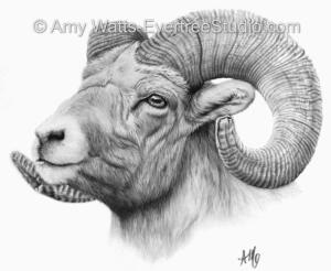 portrait-drawing-charcoal-big-horn-sheep-amy-watts