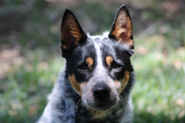 drawing-reference-photos-lighten-shadows-editing-cattle-dog