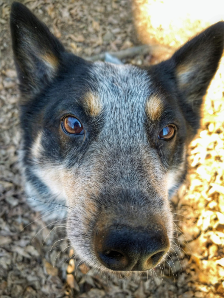 blue-heeler-dog-amy-watts