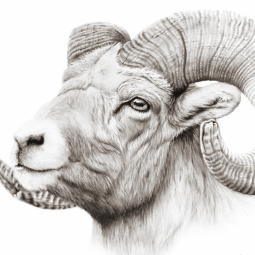 realistic-drawings-from-your-photo-big-horn-sheep