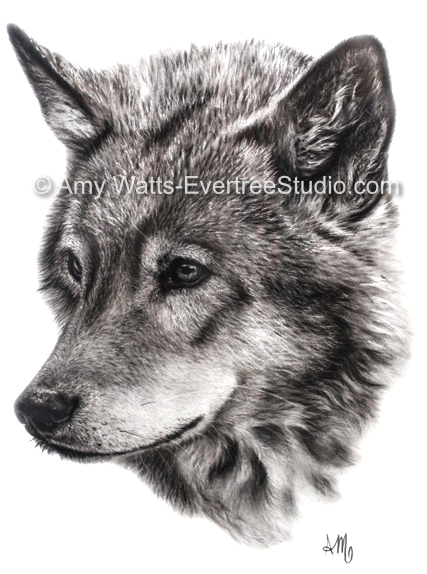 drawing-charcoal-gray-wolf-34-amy-watts