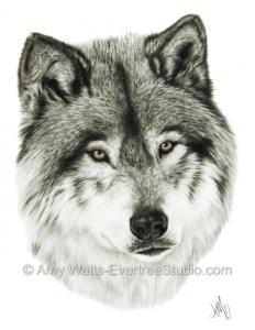 drawing-charcoal-gray-wolf-amy-watts