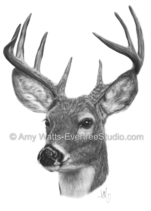 white-tailed-buck-deer-amy-watts