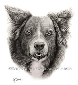 pet-portrait-drawing-border-collie-dog
